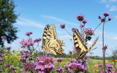 De Koninginnenpage, 1 is al zeldzaam, 2 helemaal!!  Vlinder staat symbool voor transformatie ;-)